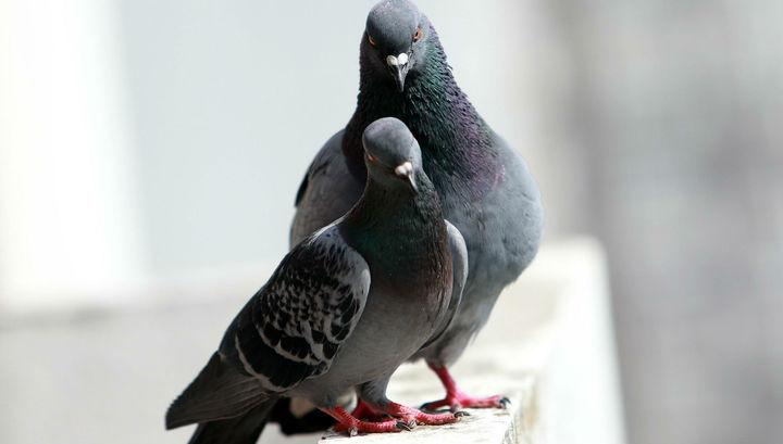 В Новой Зеландии птицей года выбрали пьяного голубя