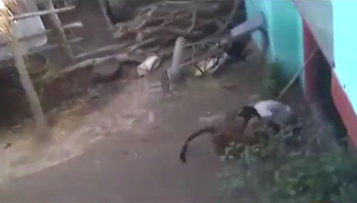 Пожилой крестьянин вступил в схватку с леопардом и победил. Видео
