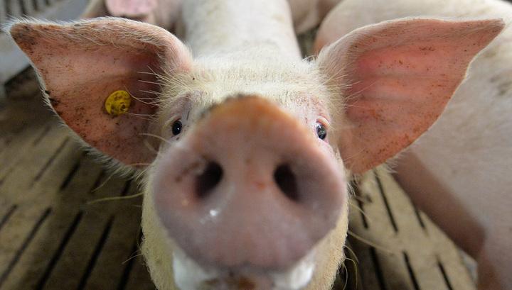 В Румынии вновь обнаружен вирус африканской чумы свиней