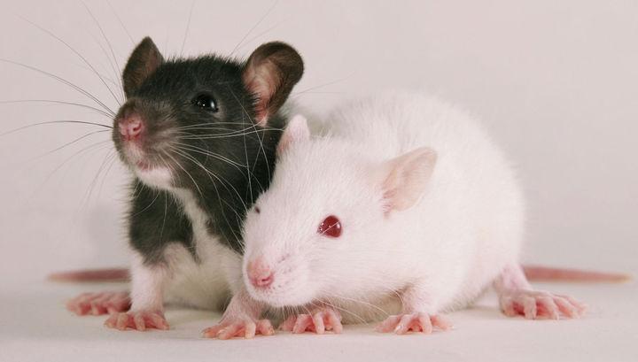 Совесть крыс может быть спокойна, судя по всему, не они виновны в распространении чумы.
