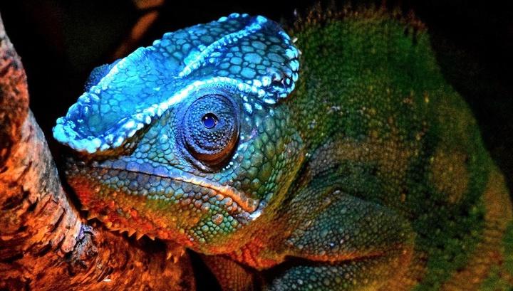 """Новая суперспособность: хамелеоны """"светятся"""" под ультрафиолетом"""