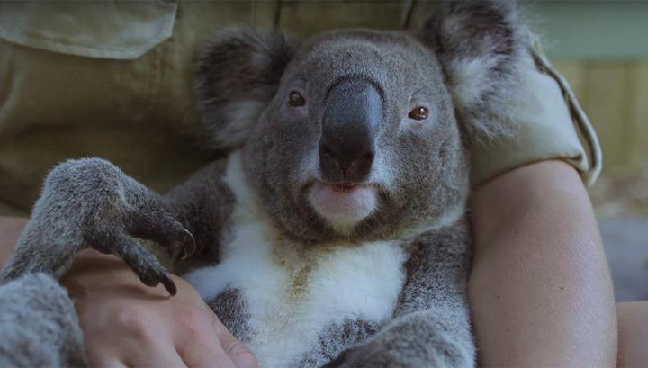 Самый расслабленный коала покорил Интернет. Видео