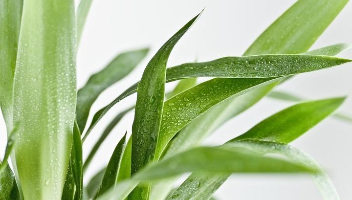 Вредитель в горшке: учёные выяснили, как известное растение калечит людей