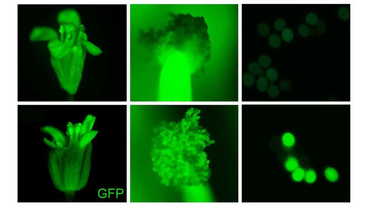 Подсчёт хромосом: раскрыта вековая тайна правильного размножения растений
