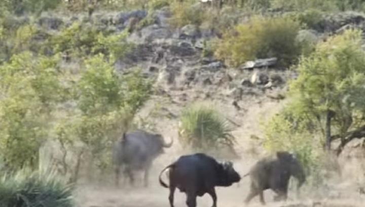 Порно диких буйволов