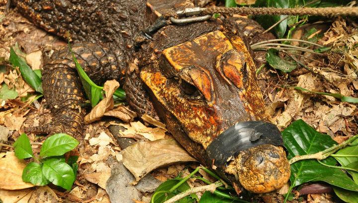 Биологи: на наших глазах рождается вид оранжевых карликовых пещерных крокодилов