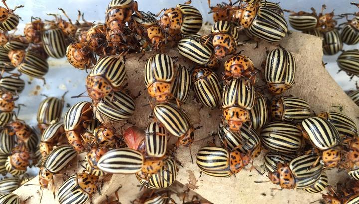 Секрет вредителя: учёные впервые расшифровали геном колорадского жука