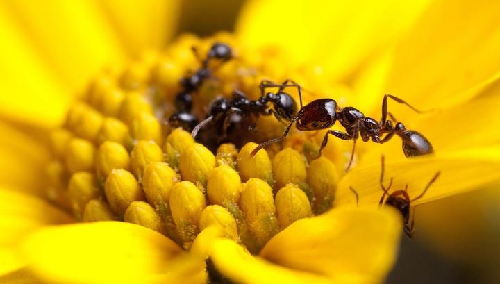 Многие виды муравьёв используют для защиты довольно мощные противомикробные агенты.