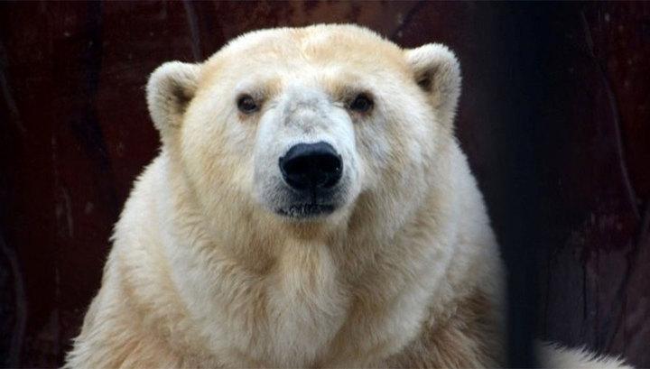В зоопарке Перми умерла бабушка Ама - самая старая белая медведица в России