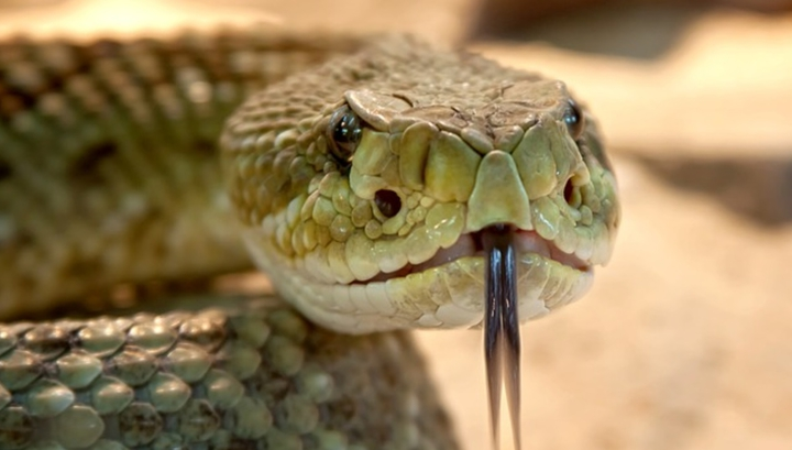 Пептидные соединения, которые помогут создать препараты против супербактерий, были найдены в железах южноамериканских гремучих змей.