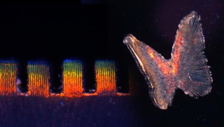 Исследователи заставили клетки сердца менять цвет с каждым ударом