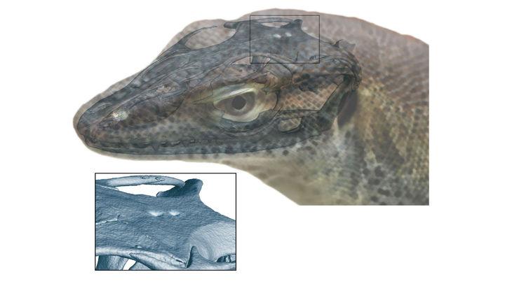 У ископаемого варана обнаружили четвёртый глаз, который вызывает множество новых вопросов к ходу эволюции.