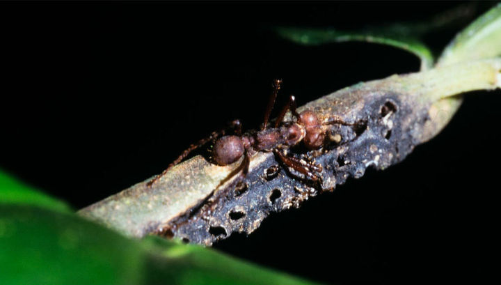 Тропические муравьи строят ловушки таким образом, чтобы ловить жертву, чей вес может в 50 раз превышать их собственный.