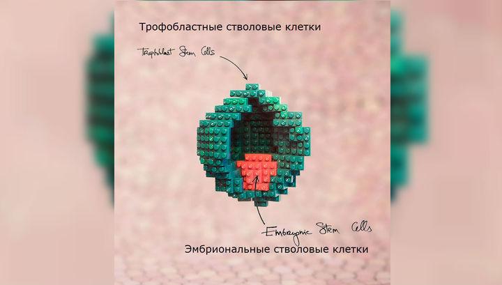 Бластоциста состоит из внешнего слоя клеток, из которого развивается плацента, и внутреннего – будущего детёныша.