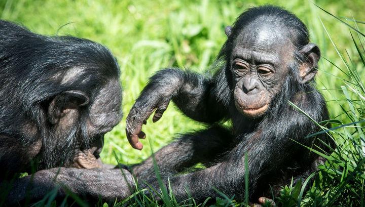 Бонобо славятся своей склонностью к социальным связям.