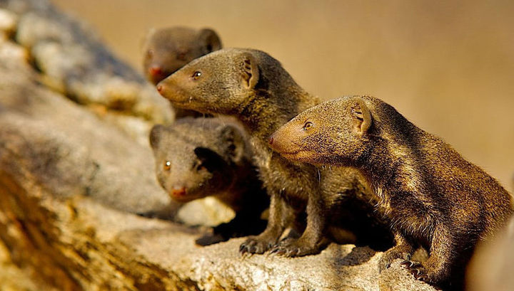 Карликовые мангусты живут группами по 5–30 особей.