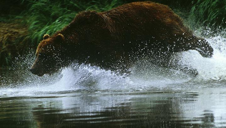 В Иркутске застрелен опасный медведь