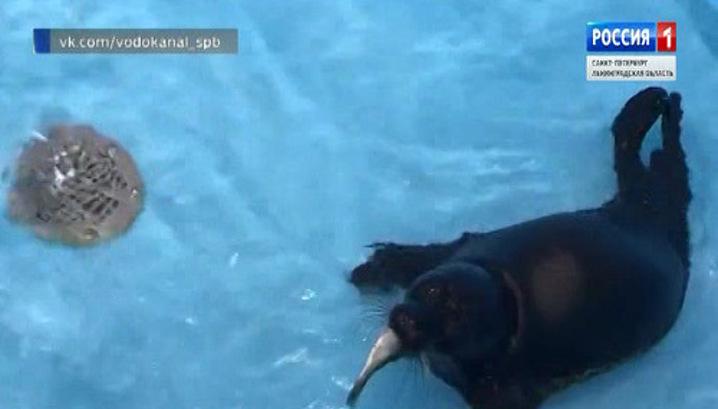 Вести.Ru: Спасенный на берегу Ладожского озера нерпёнок Вовчик ...