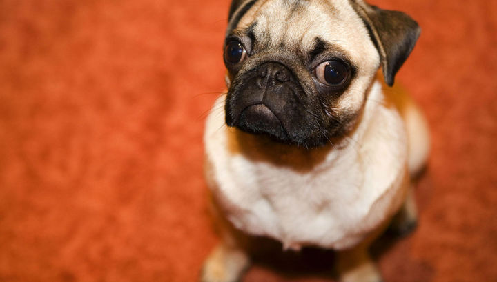 """Следы от мочи являются """"ароматным"""" сигналом, который собаки используют для общения друг с другом."""