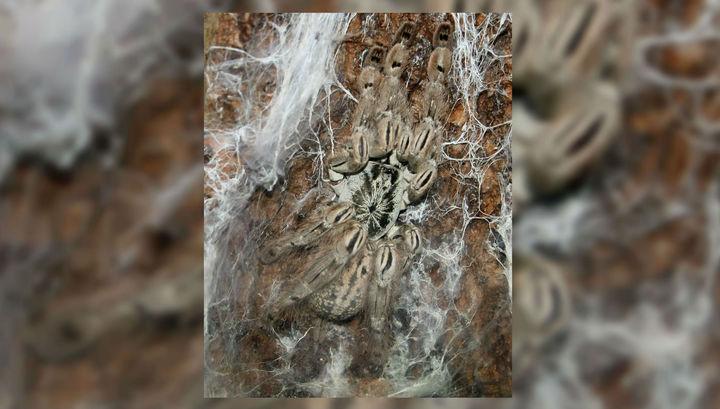 В Греции гигантские пауки заполонили побережье озера