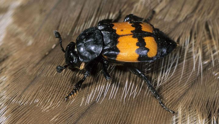 Исследователи выяснили, что происходит с новыми поколениями жуков, если им не от кого ждать помощи.