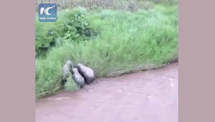 Слонихи спасли детеныша, тонувшего в китайской реке