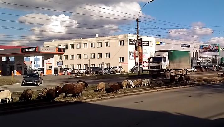 В Новосибирске сняли на видео пасущуюся на трамвайных путях отару овец