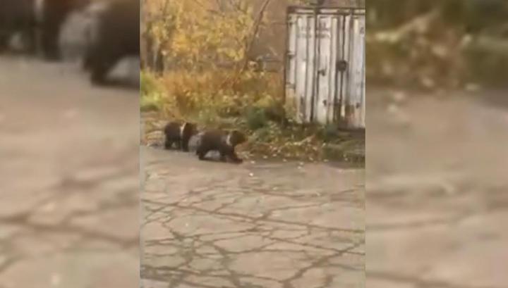 Семейство медведей забрело на территорию школы на Камчатке
