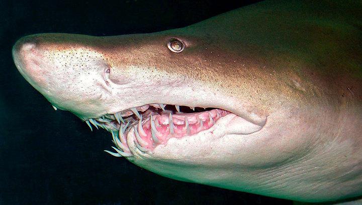 У берегов Австралии четырехметровая тигровая акула напала на человека