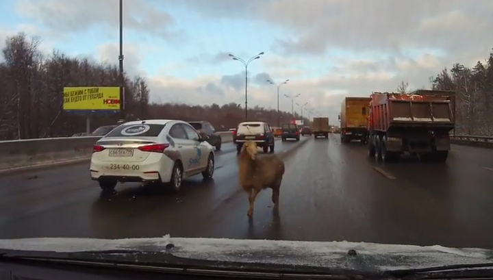 Овца на МКАДе: очевидцы сняли на видео гуляющее посреди дороги животное