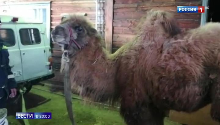 5 часов на 40-градусном морозе: опасные гастроли верблюда Славика