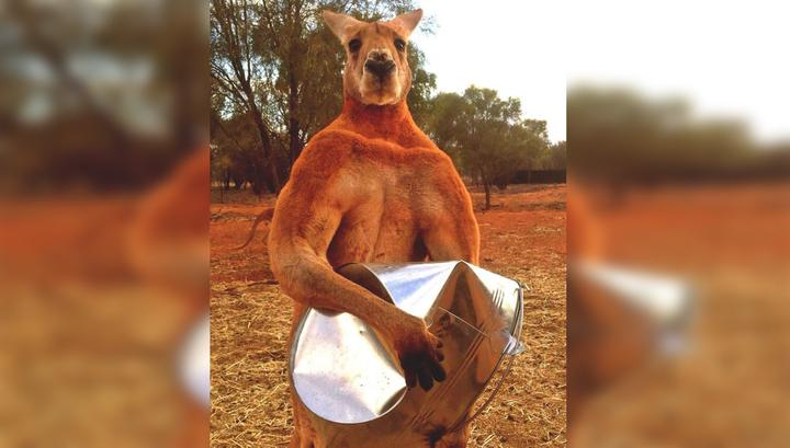 В Австралии умер знаменитый кенгуру Роджер