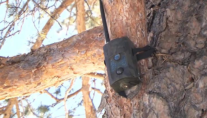 """Фотоловушки в лесхозах Бурятии должны помочь с """"черными лесорубами"""""""