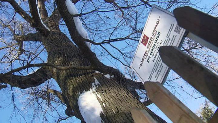 Абрамцевский дуб может стать главным деревом Европы