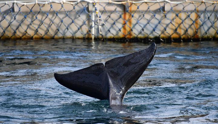 """Ученые: всех косаток и белух можно выпустить из """"китовой тюрьмы"""""""