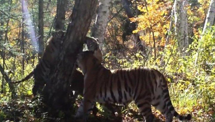 В приморском заповеднике появились на свет трое тигрят