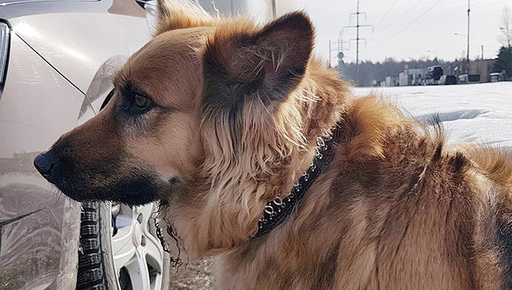 У Зеленограда выброшенный хозяином пес не догнал машину и сутки ждал хозяина у дороги