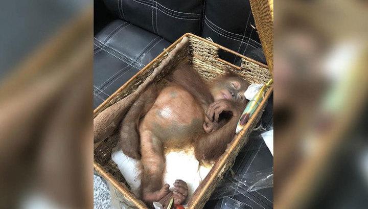 Гражданин России пытался вывезти с Бали орангутана