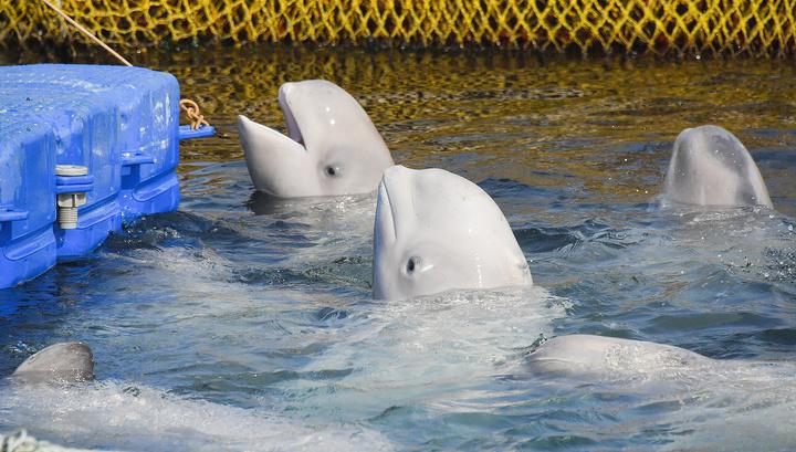 """Суд не разрешил держать белух и косаток в """"китовой тюрьме"""""""