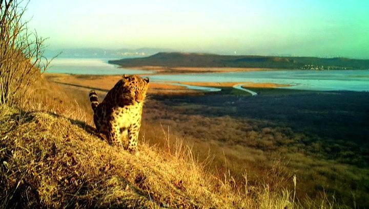Во Владивостоке амурский тигр и леопард впервые попали в объектив фотоловушки