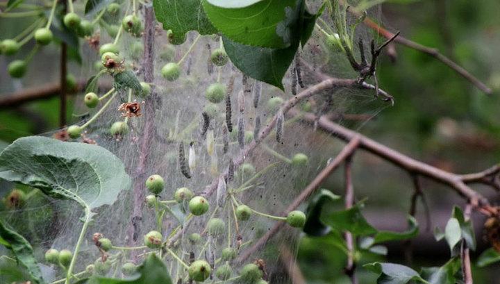 Всё в паутине, а гусеницы падают на головы: боярышницы атакуют Иркутскую область