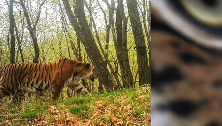 "Амурский тигр из нацпарка ""Земля леопарда"" сделал селфи"