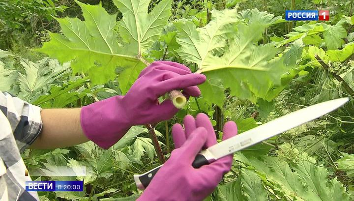 Неравный бой: в Подмосковье с риском для здоровья борются с геракловой травой