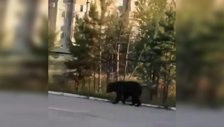 """""""Одуреть, медведь!"""": моцион лесного хищника в бурятском поселке попал на видео"""