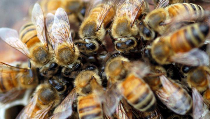 Мед отравленных пчел может быть заражен и опасен для людей