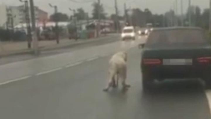 В Москве спасли алабая, которого живодер привязал к машине