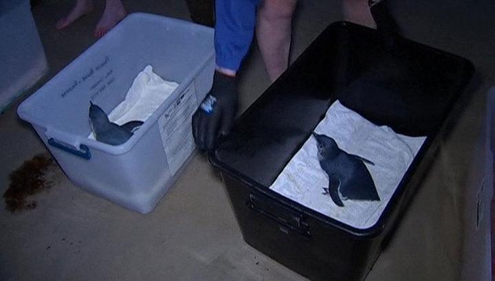 В Австралии волонтеры выпустили на волю семерых пингвинят