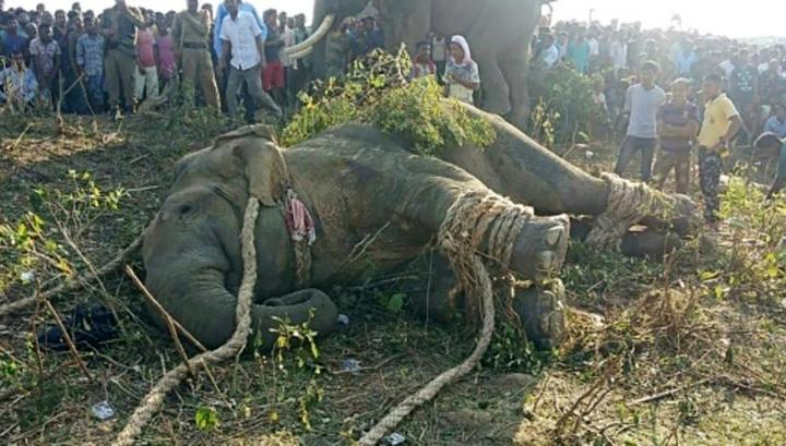 В Индии обезврежен слон бен Ладен, убивший пятерых человек