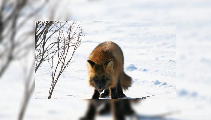 На Алтае бешеная лисица покусала троих человек