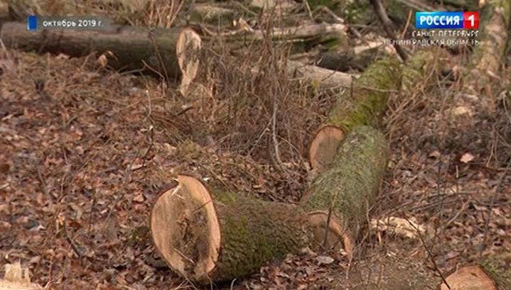 Прокуратура: вырубка вековых деревьев в Усть-Ижоре была незаконной